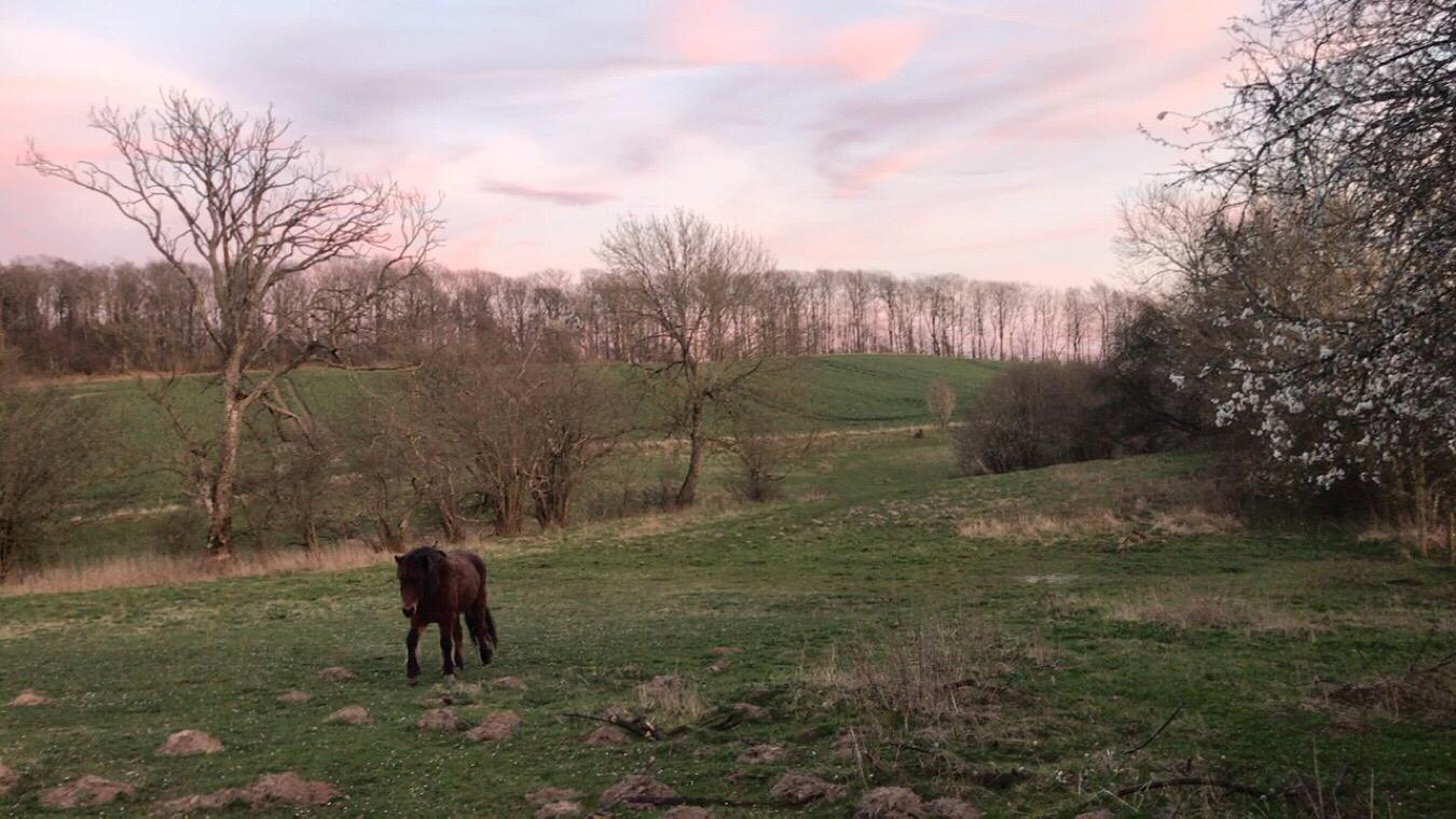 Henter hestene i aftenrøden over Østrup